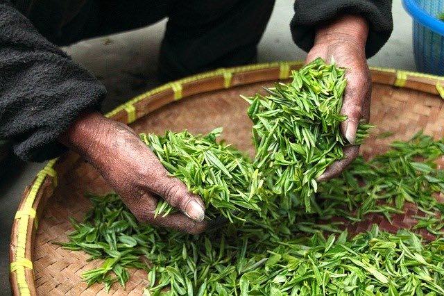 Le thé vert japonais et notre santé